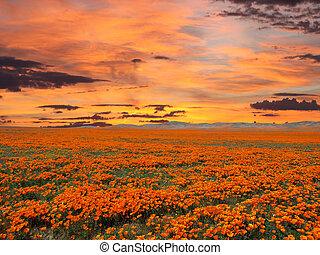 California Poppy Field With Sunrise Sky - California poppy...
