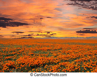 California Poppy Field With Sunrise Sky - California poppy...