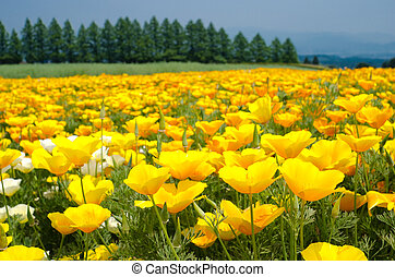 Bright yellow california poppy flower field in early summer