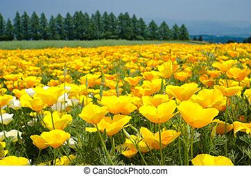 California poppy flower field - Bright yellow california...