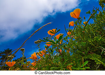 California Poppy flowers Eschscholzia californica from the ground up