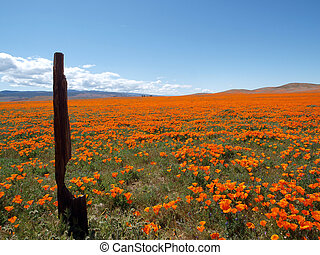 California Poppy Land - Orange poppies bask in the Southern...