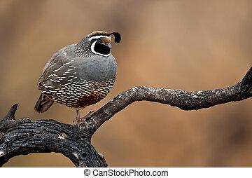 Adult male calilfornia quail perched on a burned tree limb.
