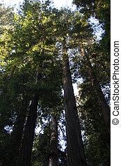 California Redwood Forest Sunrise