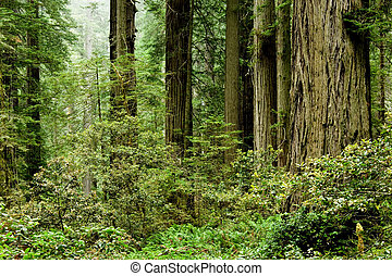 Relict sequoia trees in Redwood National park, northern California