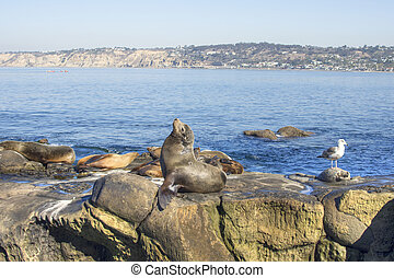 California sea lion basking in sun on reef - California sea...