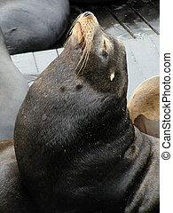 California Sea Lion in Profile