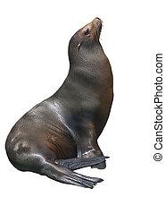 California sea lion isolated on white background