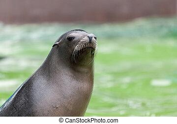 California Sea Lion (zalaphus californianus)