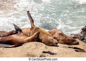 California sea lion Zalophus californianus sunning on the...