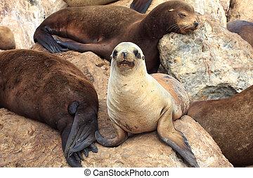 California Sea Lions at Monterey Bay - A Group of California...