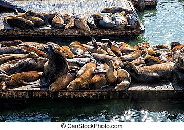California Sea Lions (Zalophus californianus) on Pier 39,...