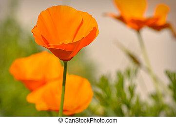 California State Poppy