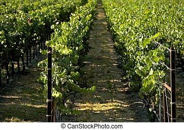 california, viñas