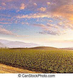 California vines vineyard field at sunset in US