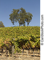 California Vineyard Scene