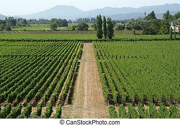 California vineyard - Vineyard in California, U.S.A.