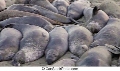 Californian elephant seal colony panorama - Panorama of the ...