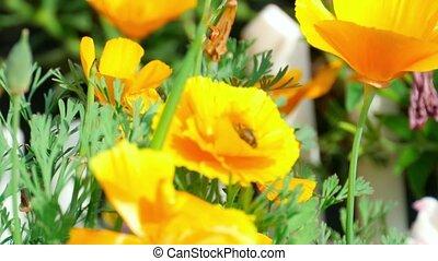 Californian poppy (Eschscholzia californica)