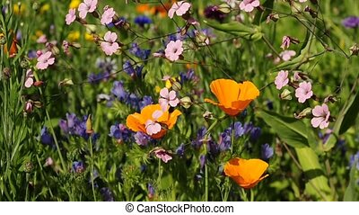 Californian poppy in a meadow