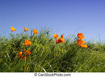 Californian poppy in the grass with blue sky in background