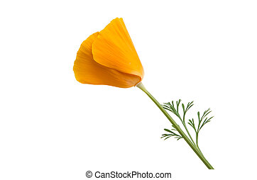 Californian poppy isolated on white background