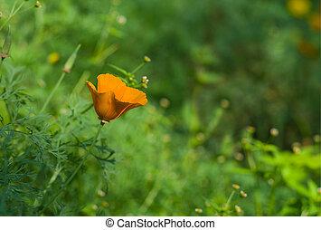 Californian poppy lost in a garden jungle