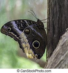 Caligo atreus - Magnificent Owl Butterfly - Closeup of the ...