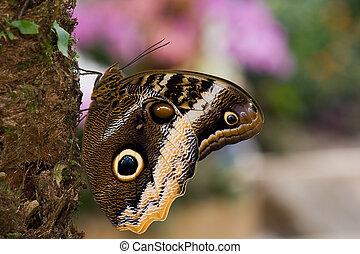 Caligo atreus - Yellow-Edged Giant-Owl butterfly resting on ...