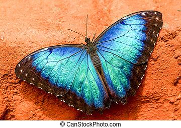 Caligo Eurilochus Blue Butterfly