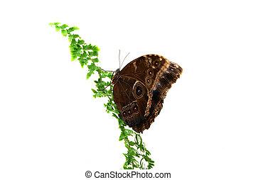 Caligo eurilochus butterfly isolated on white background