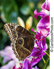 Caligo Eurilochus butterfly on a flower - Caligo Eurilochus ...