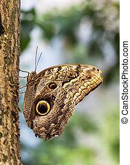 Caligo Eurilochus butterfly on a tree trunk - Caligo ...