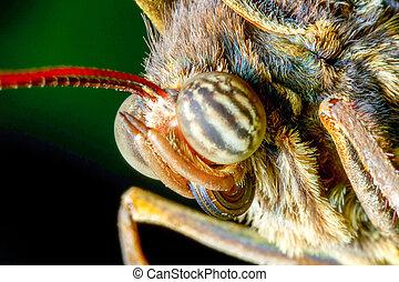 Caligo Eurilochus Face
