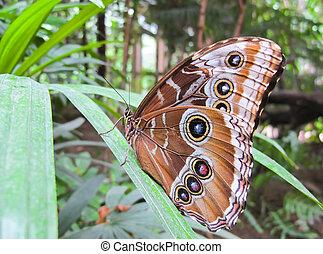 Caligo eurilochus - Owl Butterfly can reach a wingspan of 10...