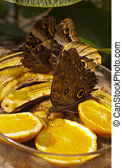 Caligo eurilochus