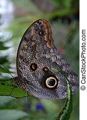 Caligo Memnon - Owl Butterfly