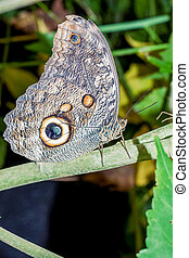 Caligo Oileus Butterfly, The Owl Butterfly, Amazonian ...