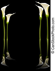 Calla lilies - illustration of calla lilies