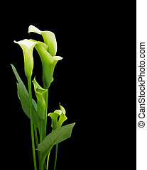 Calla lilies on black - Image and illustration composition...