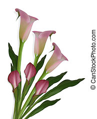 Calla Lilies on white Background - Image and illustration...