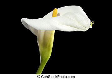 calla lily flower on dark background