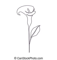 Calla lily flower on white background. One line drawing...