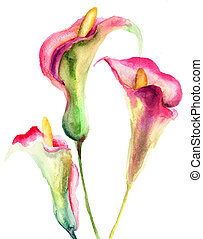 Calla Lily flowers, watercolor illustration