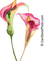 Calla lily flowers vector illustration