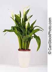 Calla lily in a pot