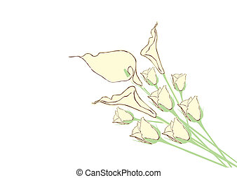 Calla Lily - Vector  - white flower background