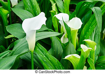 Calla lily white flower and green leaves in garden.