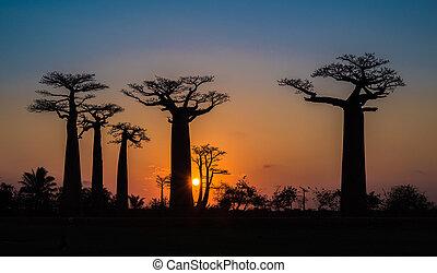 callejón, baobabs, ocaso, encima, madagascar