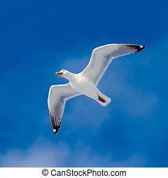 Calling herring gull(Larus argentatus) with open beak flying in blue sky.